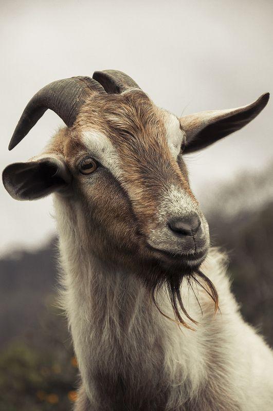 significado de soñar con cabras